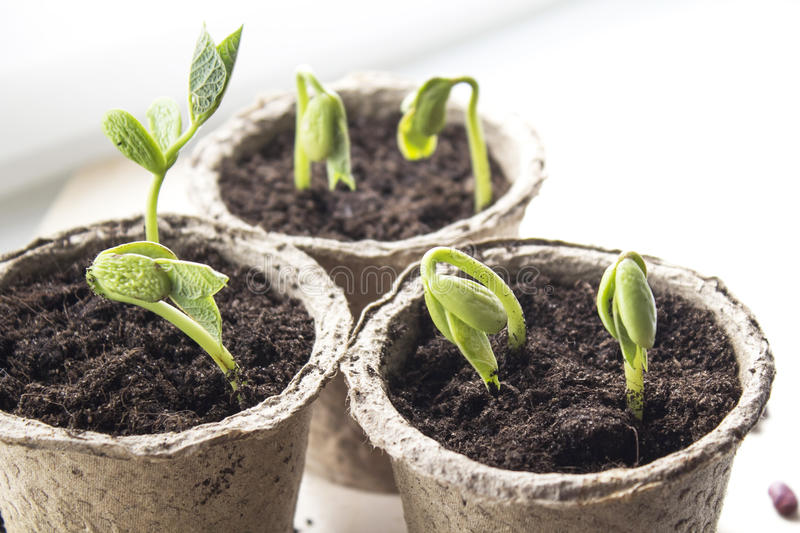 Small green sprouts in peat pots on the window royalty free stock photos