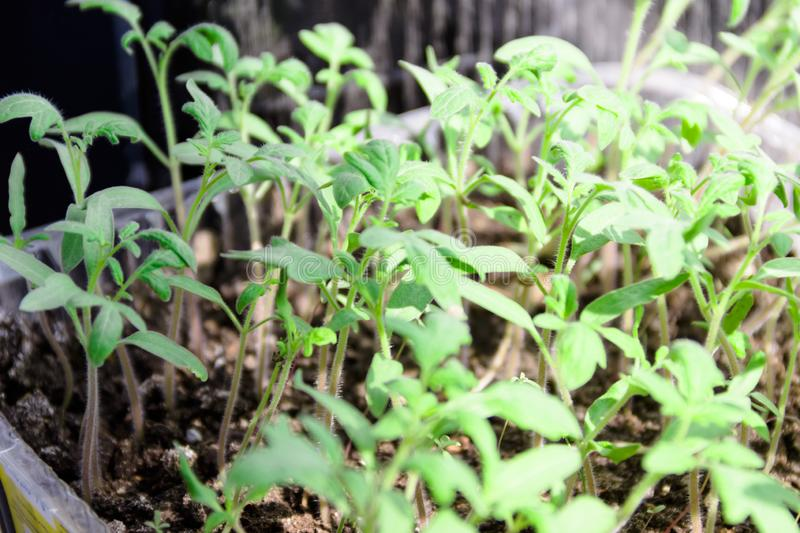 Small green sprouts of tomato seedlings. Pictured in the photo small green sprouts of tomato seedlings,the image does not focus and blurred growth plant stock photography
