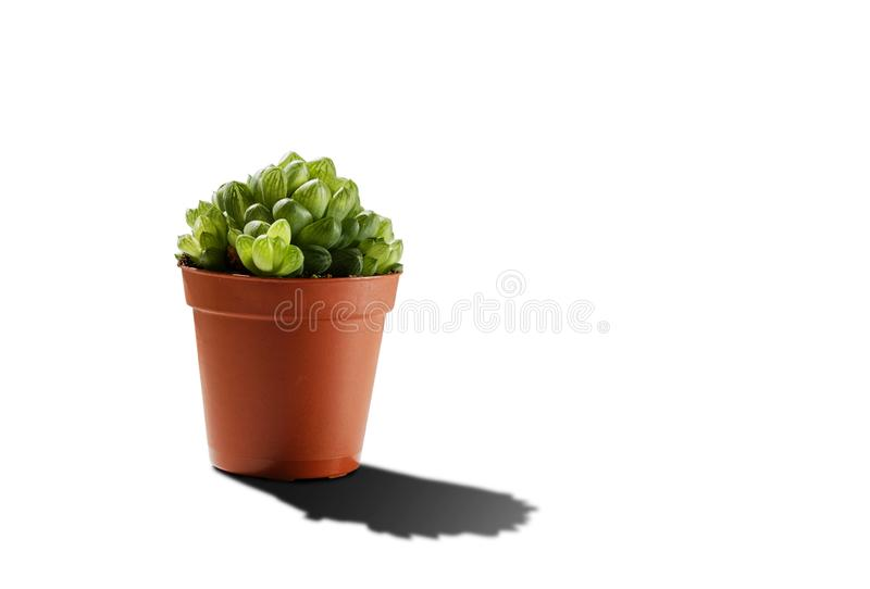 Small green succulent plant mini aloe in pot isolated on white background with shadow stock image