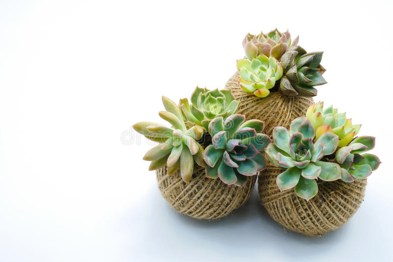 Small green succulent plant in rope ball pot isolated white background stock images