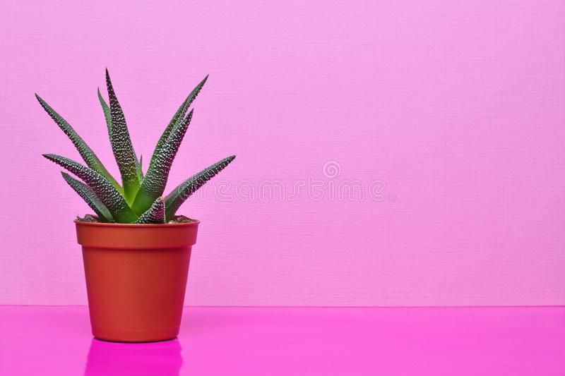 Small green succulent in red flower pot on bright pink background. Small green succulent in red flower pot with copy space on bright pink background stock image