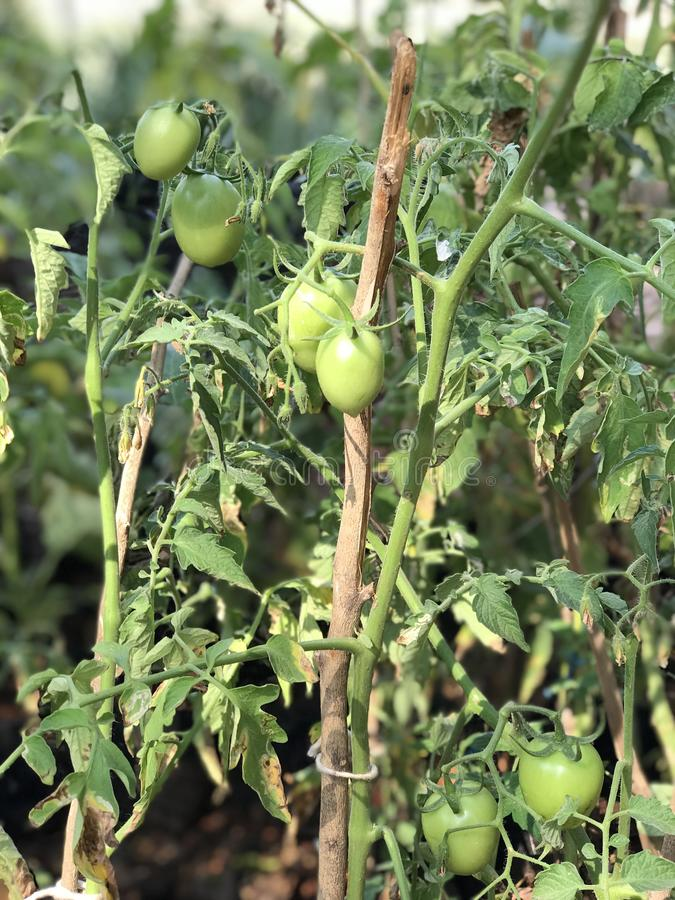 Small green tomatoes. A young tomato plant laden with green tomatoes royalty free stock images