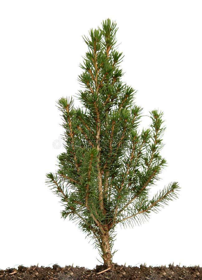 Small green tree. stock image