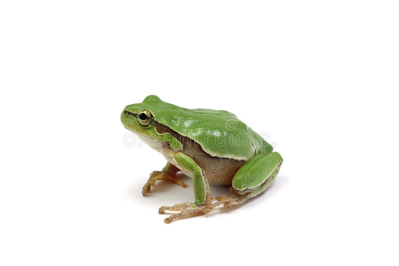 Small green tree frog stock images