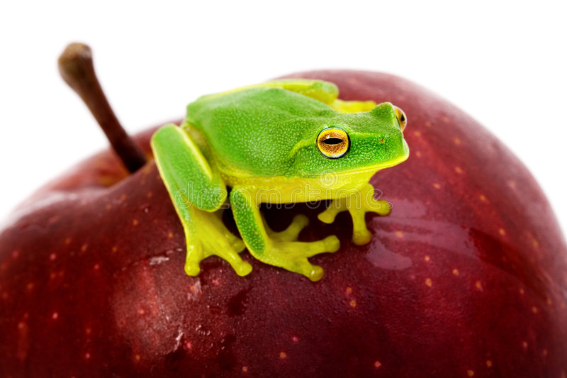 Small green tree frog sitting on apple. Small green tree frog sitting on red apple royalty free stock photos