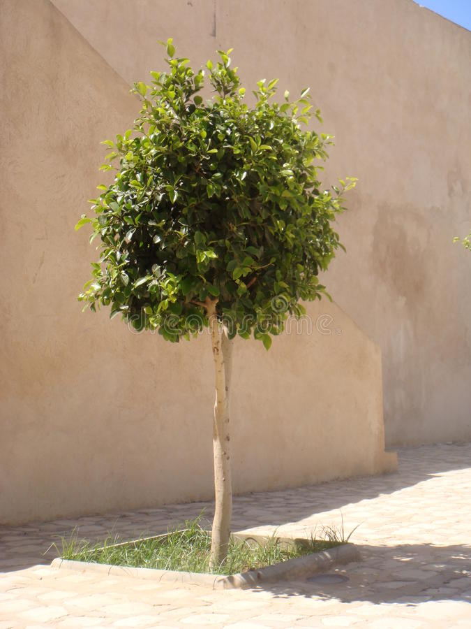 Small green tree. Growing on street of Sousse royalty free stock images