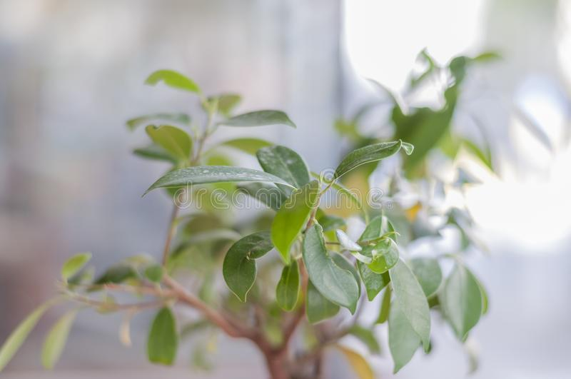 Small green tree in the restauran with blurr background. Close up stock image