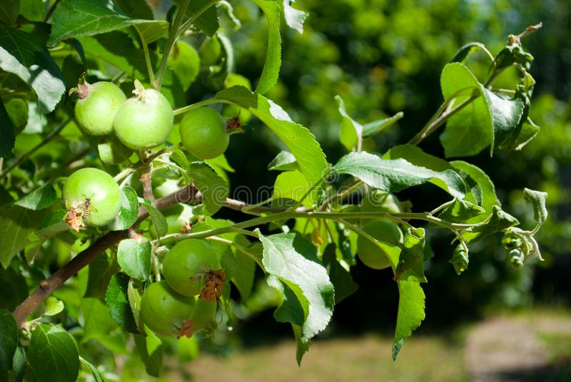 Small green unripe apples on a branch of an apple tree. Foliage tree spring garden, on a background of lawn with grass, sunny day giving a harvest royalty free stock images