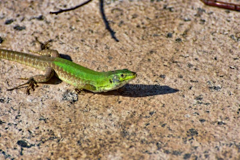 A small green llizard looking stock photo