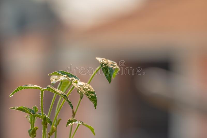 Small greenery that obtained from mung bean plants stock photography