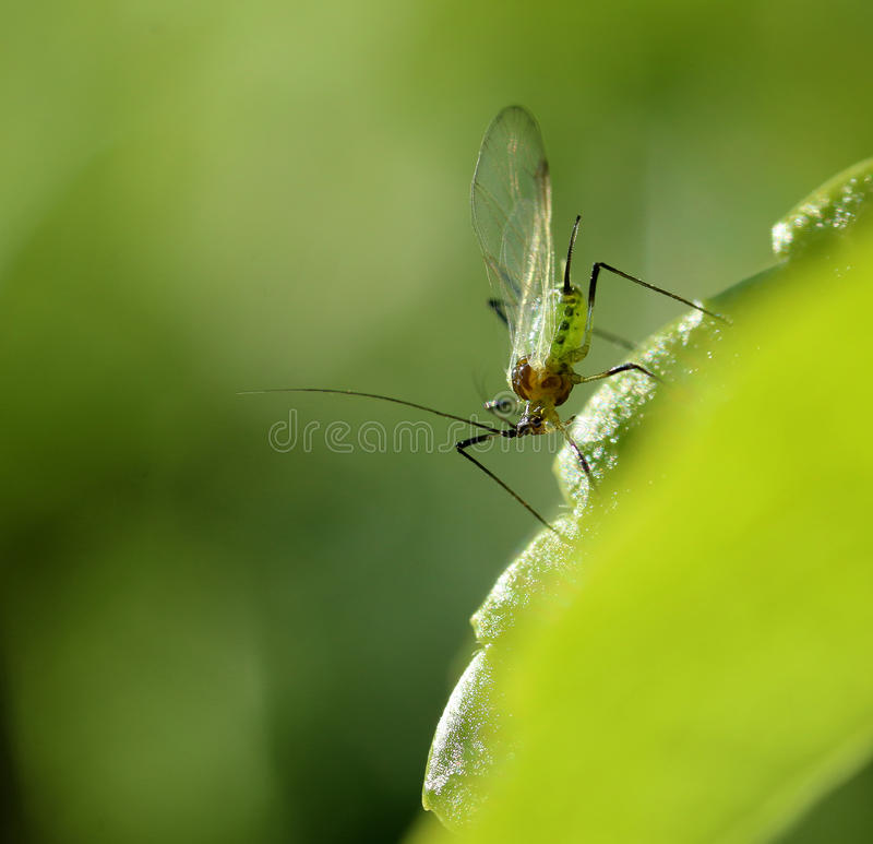 Small greenfly with wings on leaf. Small greenfly with wings on green leaf macro close-up royalty free stock photography