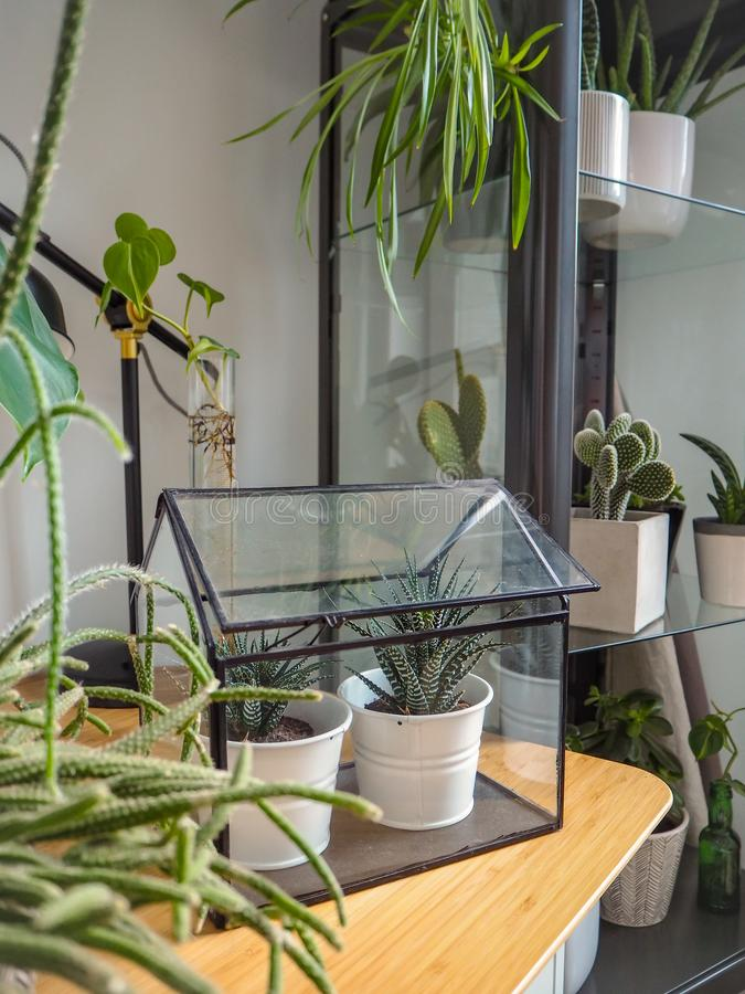 Small greenhouse with two succulents on a wooden table in a modern urban jungle room filled with green plants stock images