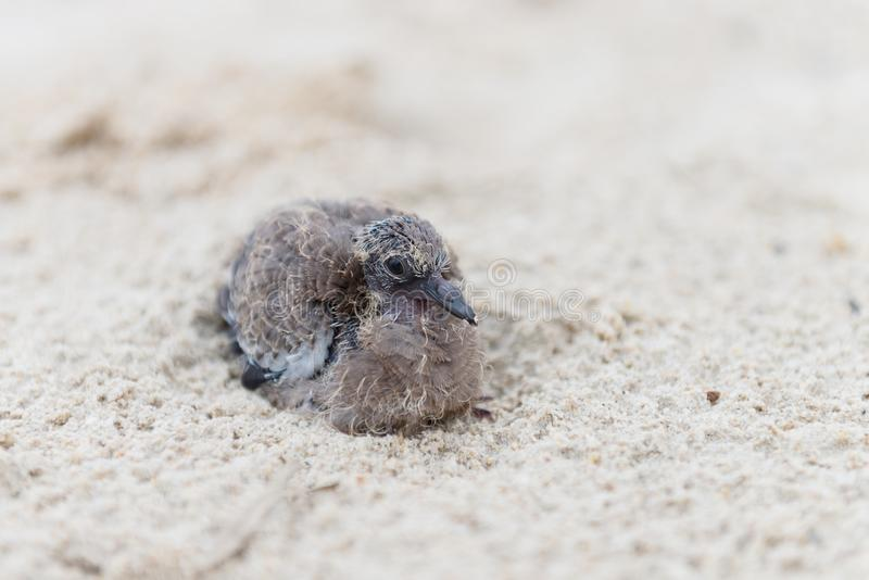 Download Small Baby Bird On Sand Beach Stock Image - Image: 102084543