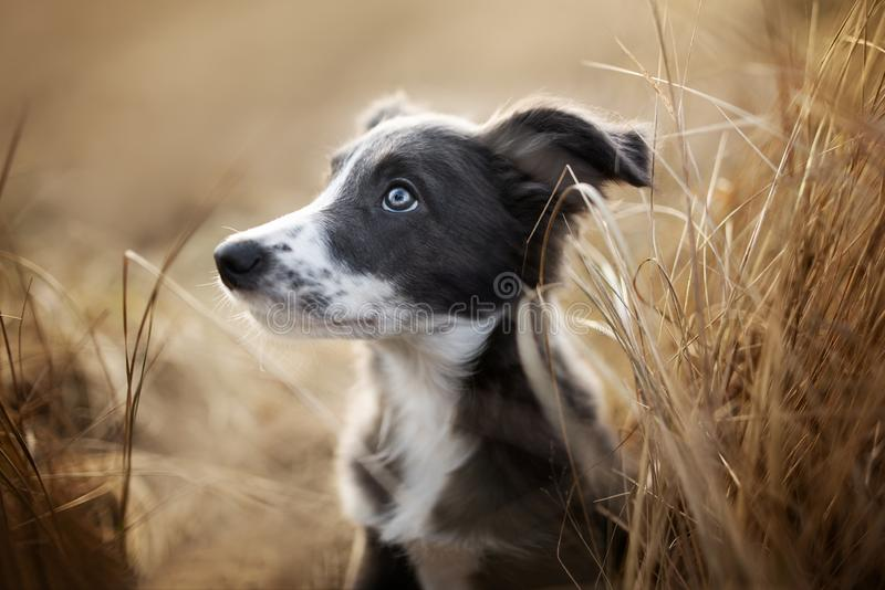 grey border collie puppy portrait in dry grass outdoors stock image