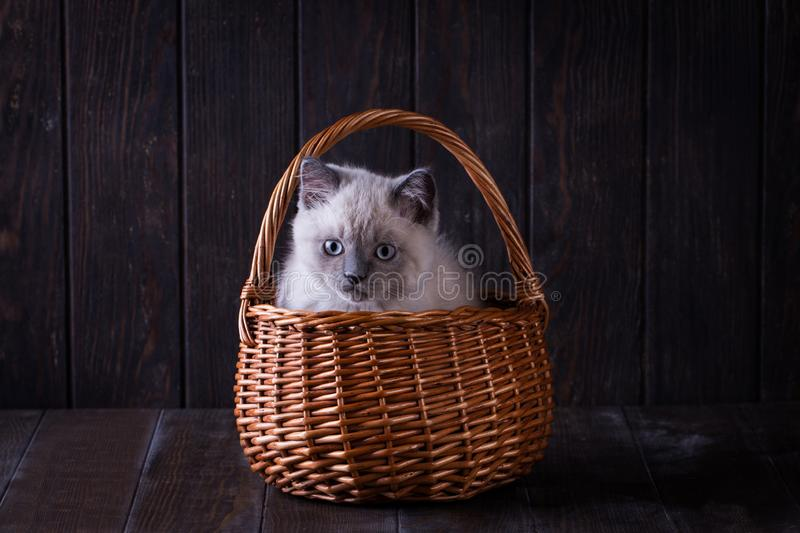Small grey british kitten on table with wooden texture in basket. Cute small grey british kitten on table with wooden texture in basket royalty free stock photography