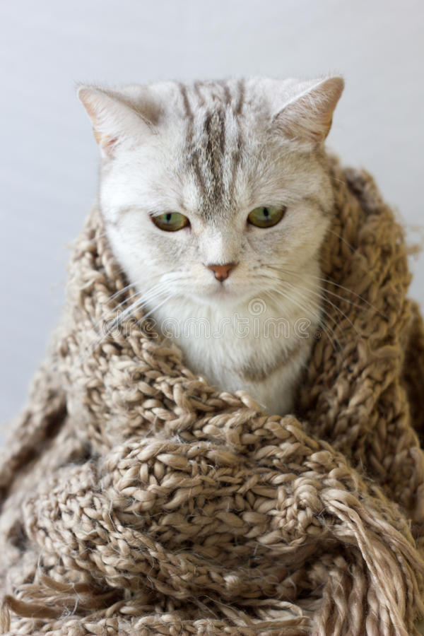 Small grey cat wrap up in woolen scarf. Small grey cat wrap up in woolen scarf royalty free stock image