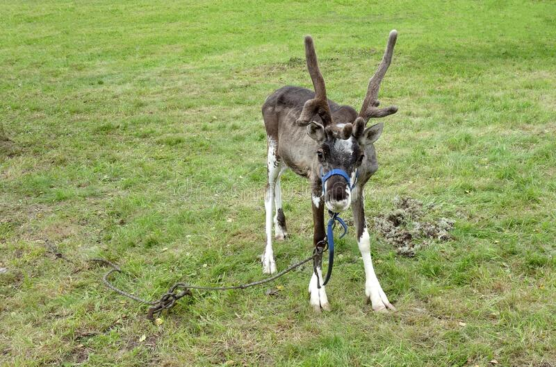 A small grey reindeer with horns on a leash on the green grass stock image