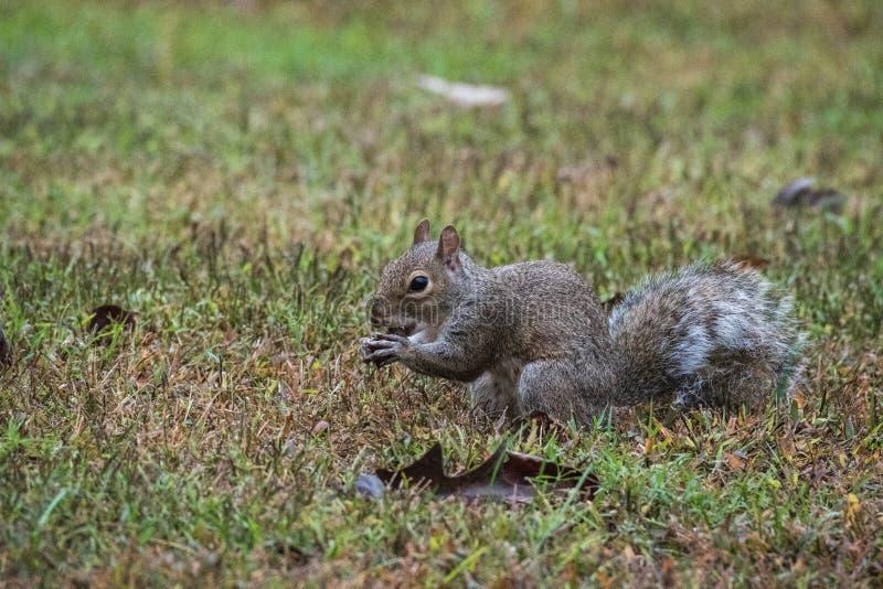 A Grey Squirrel holding an acorn, Marietta, Georgia, USA. A small grey squirrel sitting and holding an acorn, Marietta, Georgia, USA stock photos