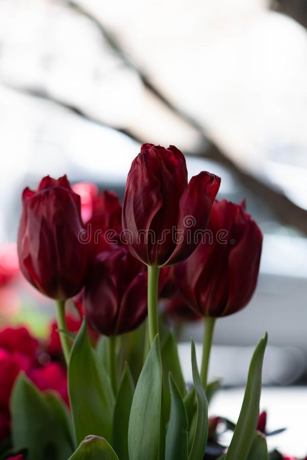 Blood Red Tulips in bloom stock images