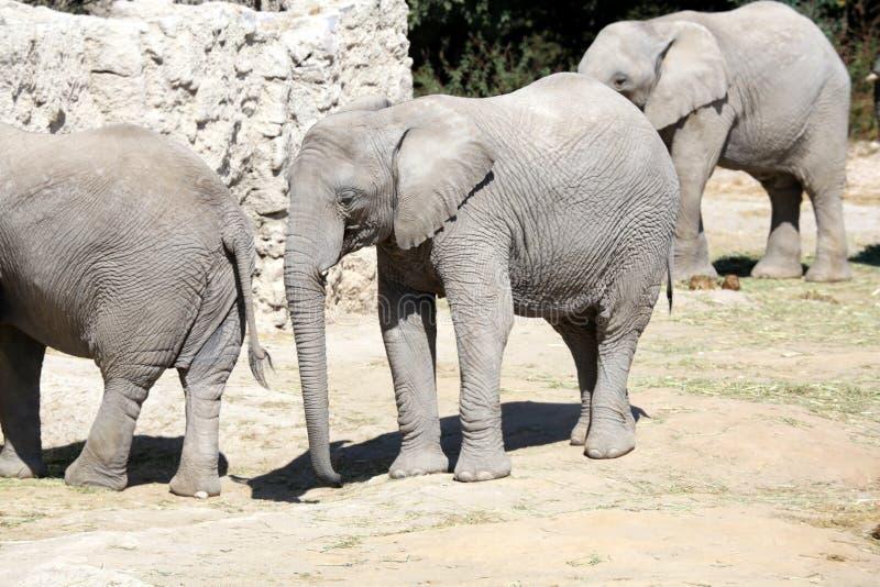 Elephants family in Zoo stock photo