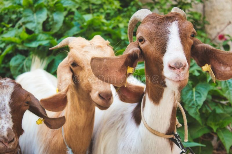 A small group of goats looking at the camera stock photography