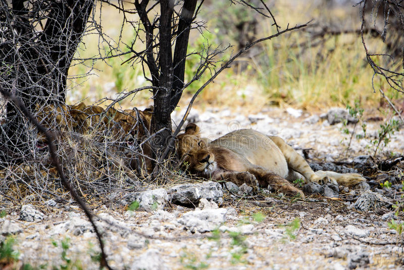 A small group of lionesses asleep in the shade. A small group of lionesses dozing in the shade royalty free stock photo
