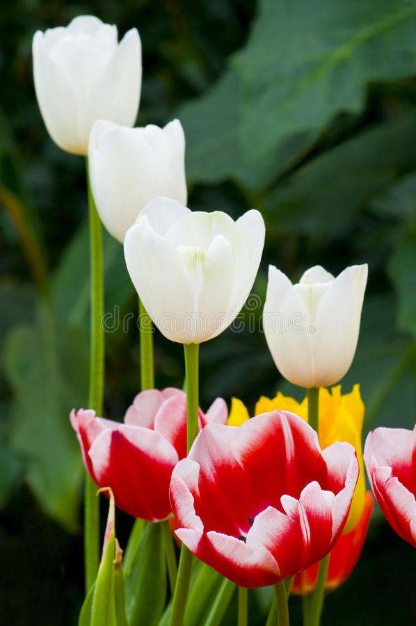 Small Group of Mixed Colour Tulips royalty free stock photo