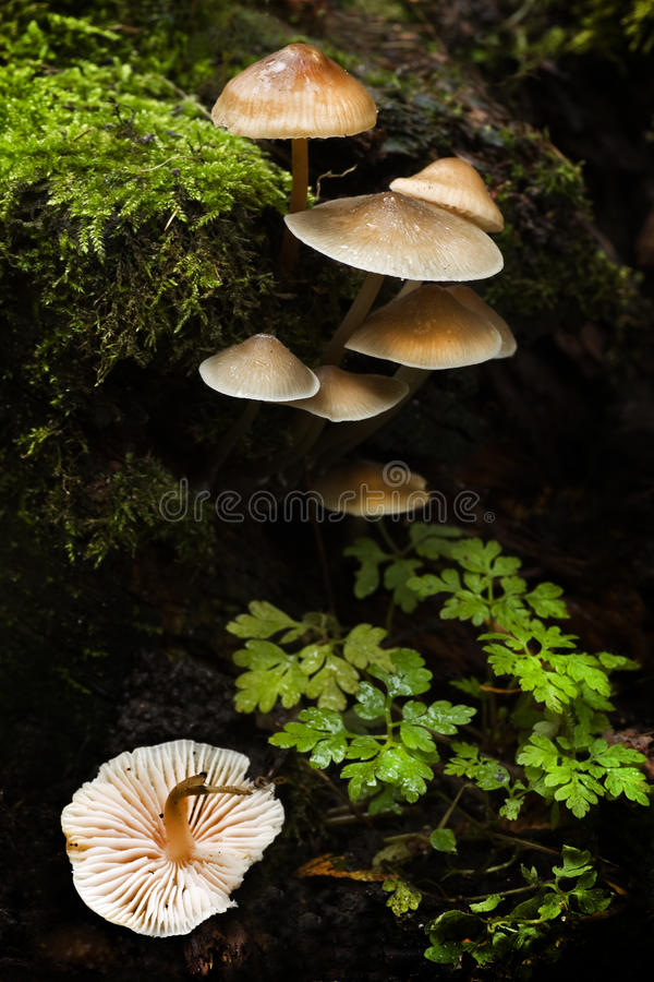 Small Group Of Mushrooms In Fall Royalty Free Stock Photography