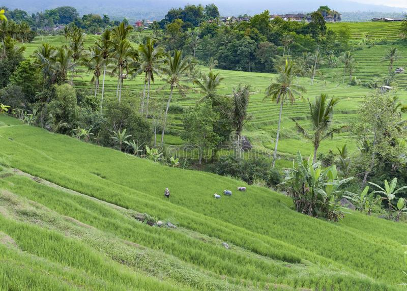 Rice Workers at Jatiluwih Rice Fields, Bali stock images