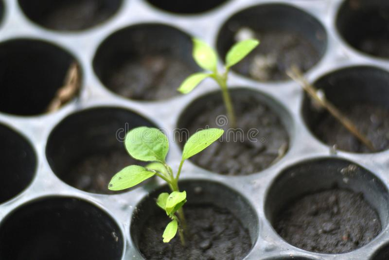 Small Growing Tomato Plant at a Nursery. A couple of growing seedlings of tomato plant at a nursery stock photography
