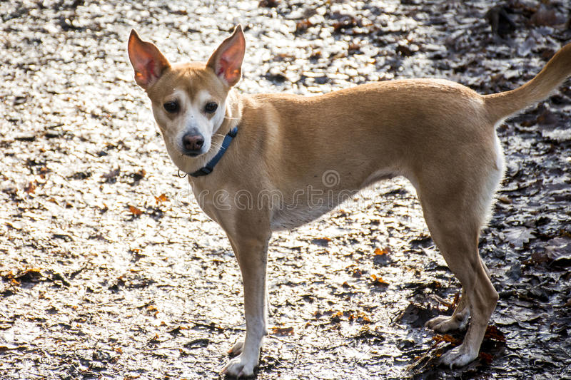 Small hairy dog Portuguese Podengo wearing a blue collar royalty free stock photography