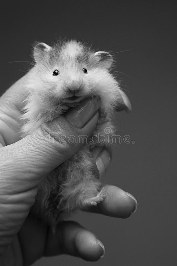 Small hamster - 6 royalty free stock image