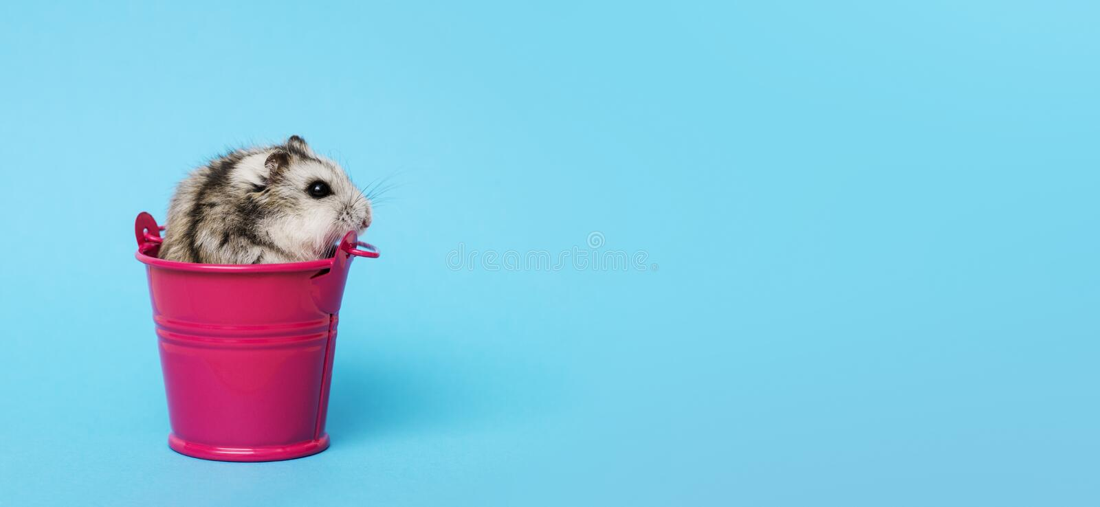 Small hamster in bucket on blue background with copy space. Gray Syrian hamster in bucket. Baby animal theme.  stock photo