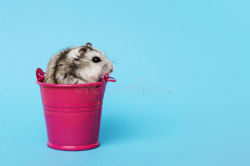 Small hamster in bucket on blue background with copy space. Gray Syrian hamster in bucket. Baby animal theme.  stock images