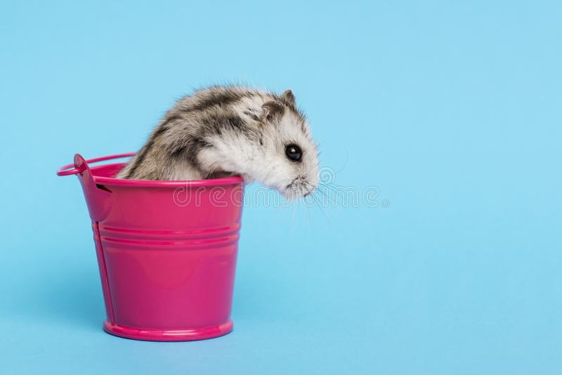 Small hamster in bucket on blue background with copy space. Gray Syrian hamster in bucket. Baby animal theme.  stock photography