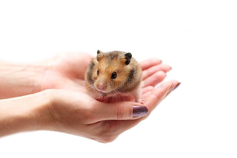 Small hamster royalty free stock photos