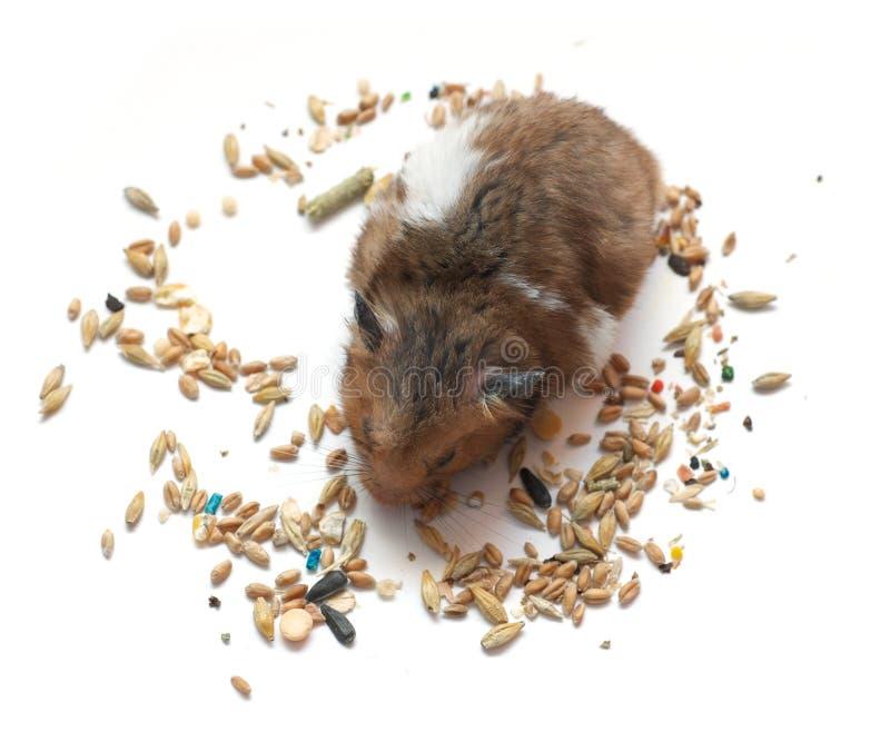 Small hamster royalty free stock photo