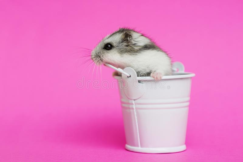 Small hamster in white decorative bucket on pink background with copy space. Gray Syrian hamster in bucket. Baby animal theme.  royalty free stock images
