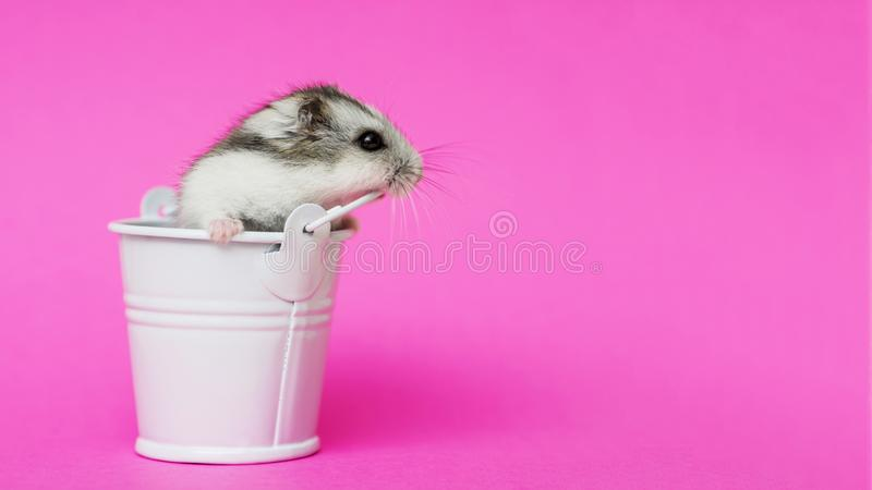 Small Hamster In White Decorative Bucket On Pink Background