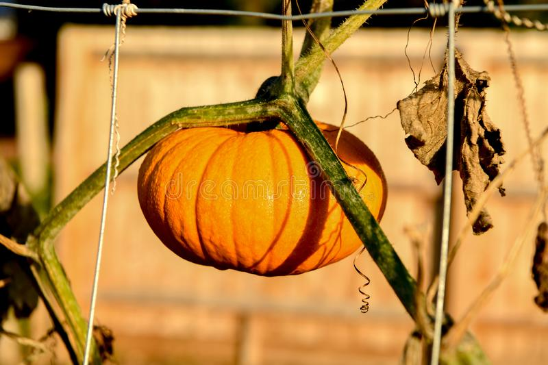 Variety of hanging pumpkin royalty free stock photos