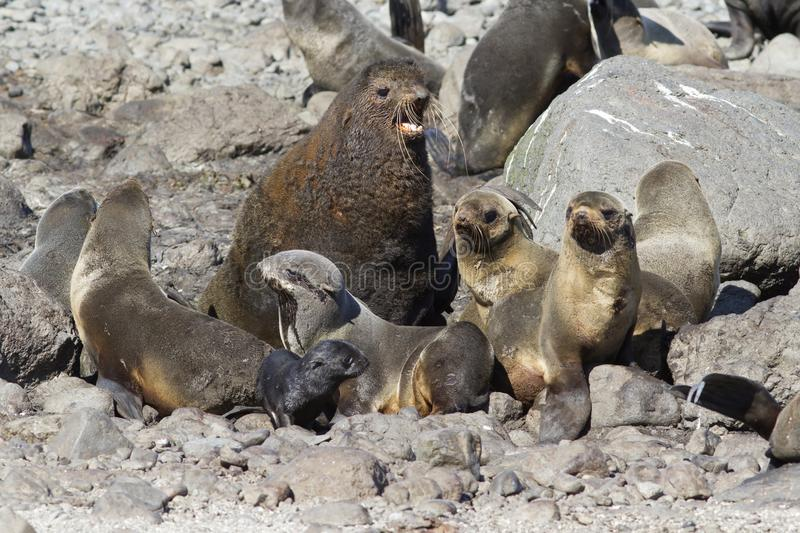 Small harem is a northern fur seal on a rookery on a summer sunny day royalty free stock images