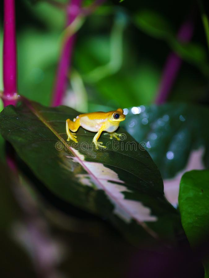 Small-headed tree frog (Hyla microcephala) in Costa Rica stock photography