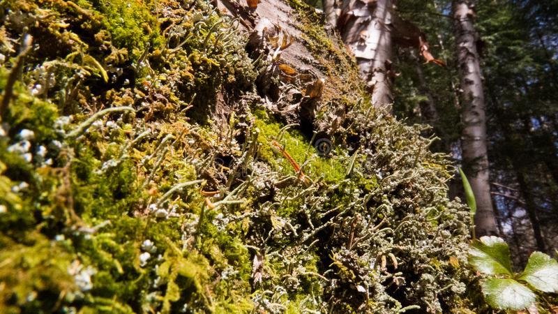 Small healthy plants and moss patches. In the bright sunlight. The Province of Quebec, Canada royalty free stock images