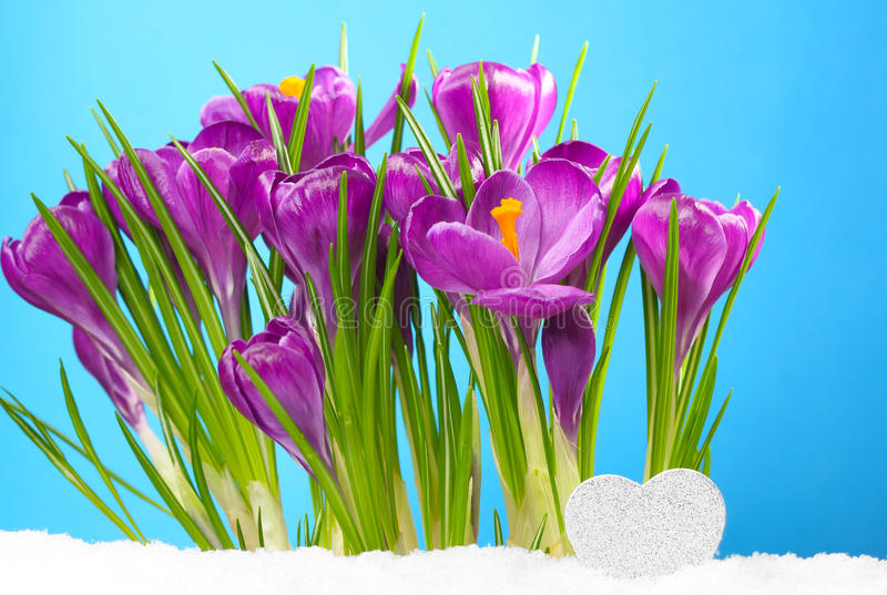 Small heart in front of Crocus. In snow stock image
