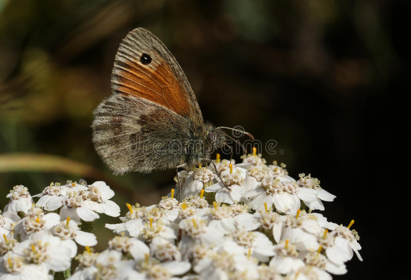 Small Heath Butterfly (Coenonympha pamphilus). stock photo