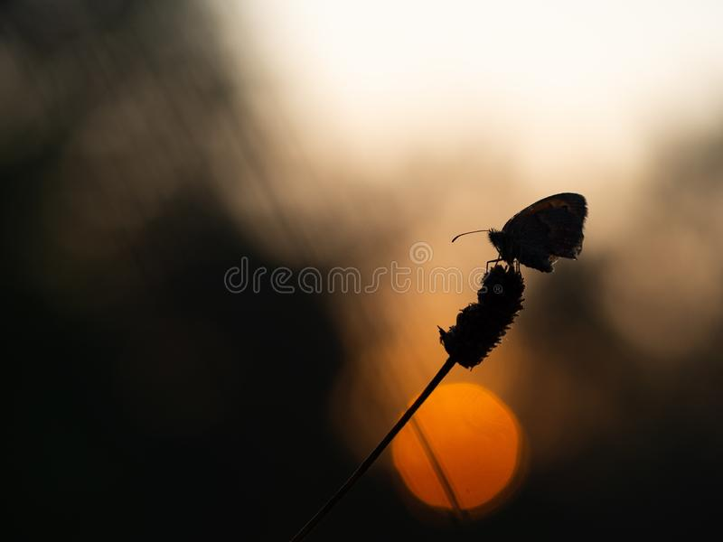 Small heath butterfly Coenonympha pamphilus sleeping at sunrise royalty free stock photography
