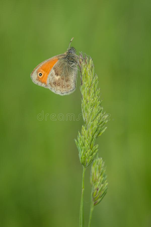 Small heath butterfly on green grass royalty free stock photo