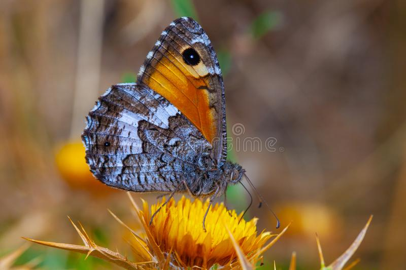 Small heath butterfly, macro shot. royalty free stock images