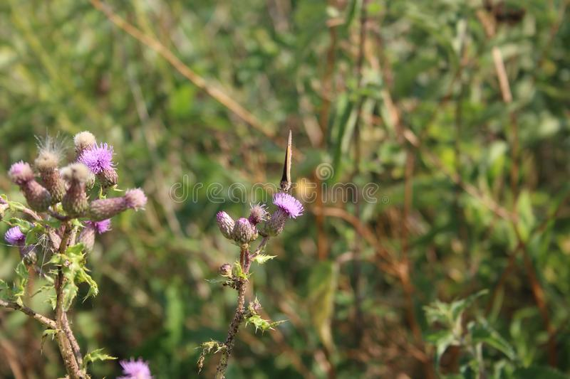 Butterfly on a thistle royalty free stock images