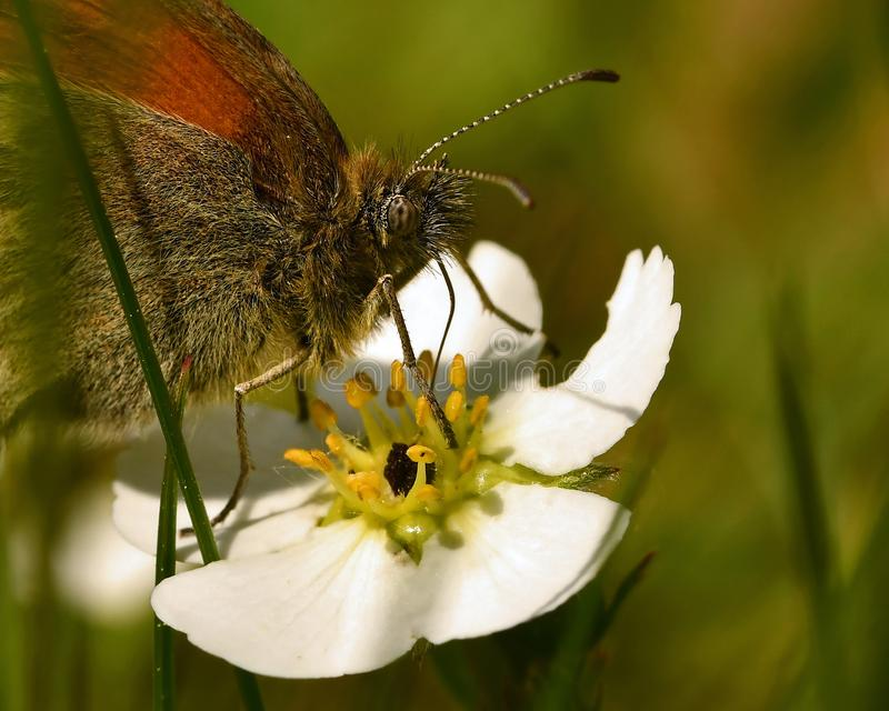 Small heath Coenonympha pamphilus in close-up royalty free stock photography